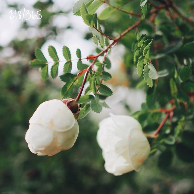 Встретить осенью несколько цветков моего любимого белого шиповника - маленькое чудо:) #веритьвчудеса до_30