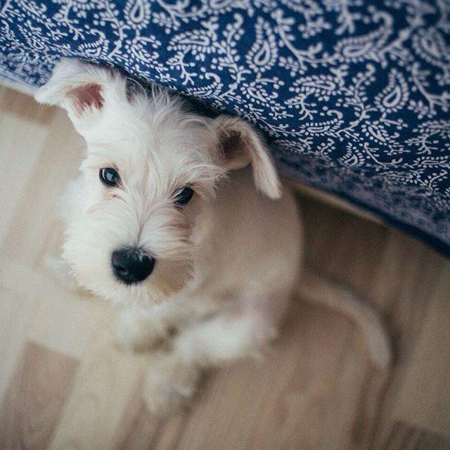 Прыгаем в последний вагон:)) нельзя терпеть такую несправедливость:)))) собаку!!! Собаку запустим в наш новый дом, @rbiholding так и знайте:))  #сынторика  #цвергшнауцер