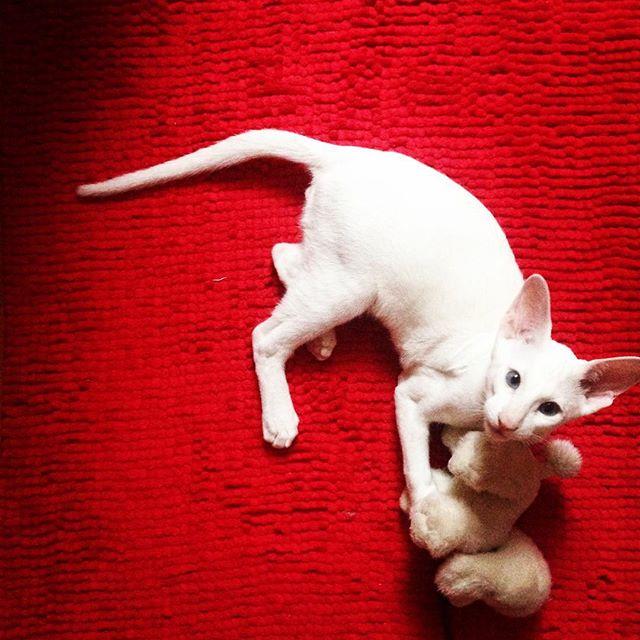 По классификации собачники/кошатники я, однозначно, первый вариант. Но это  ? Он сегодня спал где-то со мной и бусиной и гармонизировал пространство своим мурчанием:) #форинвайт #сиам #ориентал       #дочкиматери #радости_бо
